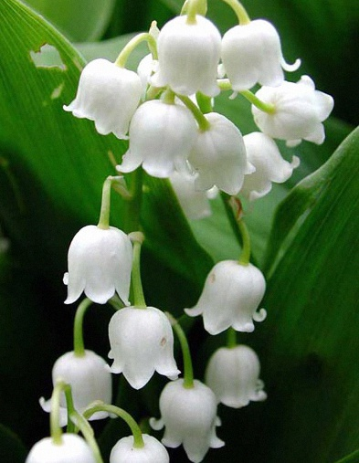traditions muguet